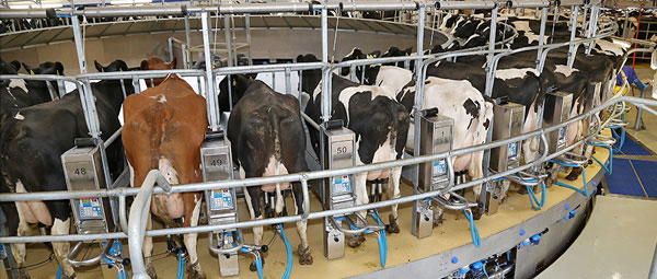 JOSERA Cattle in the milking carousel