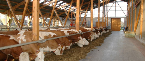 JOSERA cattle standing in the stable