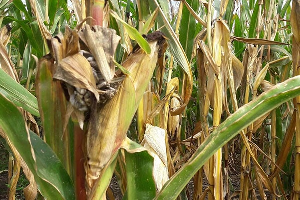 Silage maize with drought-damage – what to do now?