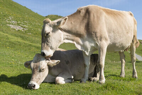 JOSERA German brown cattle