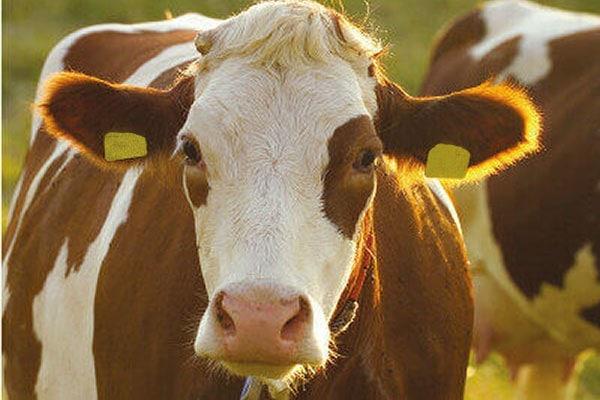 JOSERA Simmental cow