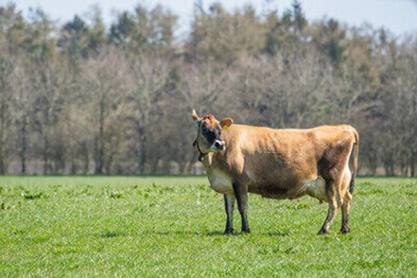 JOSERA Jersey cow