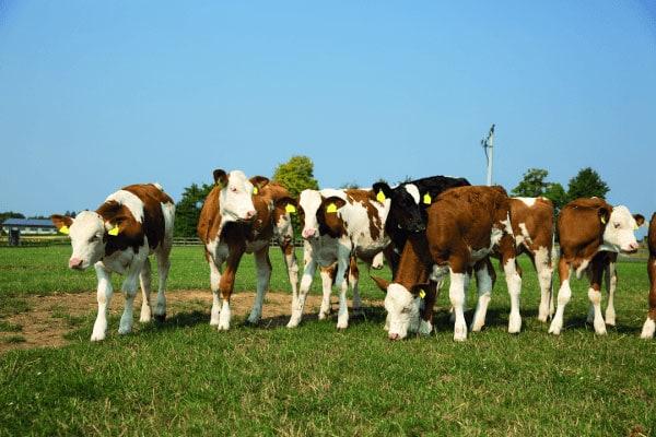 JOSERA calves standing in the pasture