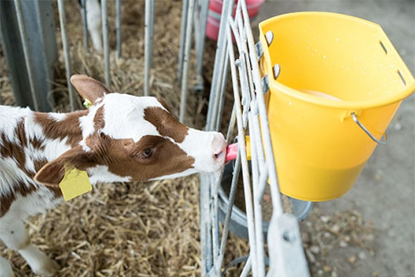 JOSERA calf standing in the stable and drinking