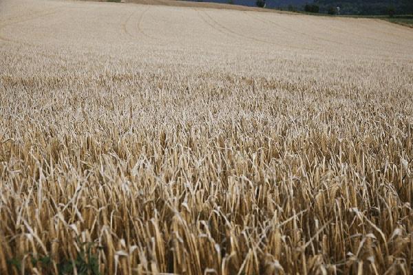 JOSERA grain field