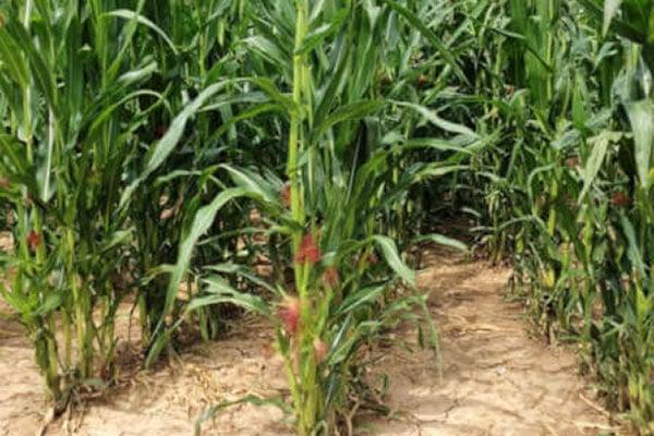 JOSILAC maize crop