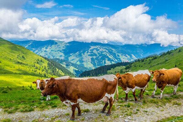 JOSERA Pinzgau cow