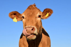 JOSERA cow in the pasture, blue sky
