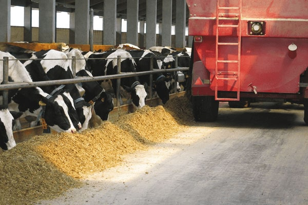 JOSERA Cattle in the barn during feeding, view of a mixer wagon