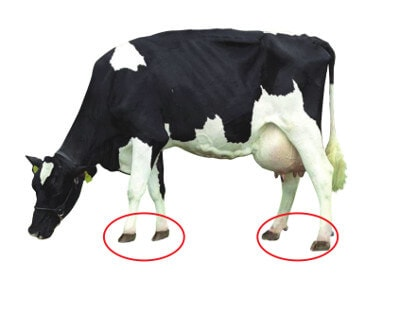 JOSERA cow, focus on claws