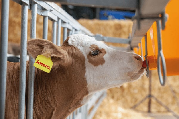 JOSERA cow drinking out of a bucket in the stable