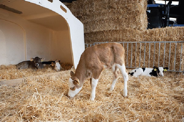 JOSERA cattle standing in the stable on straw