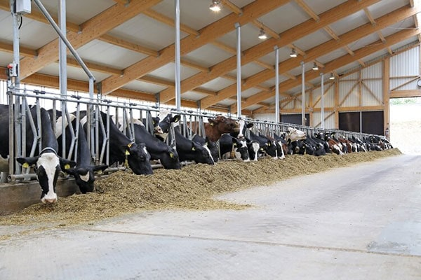 JOSERA cattle eating in the stable
