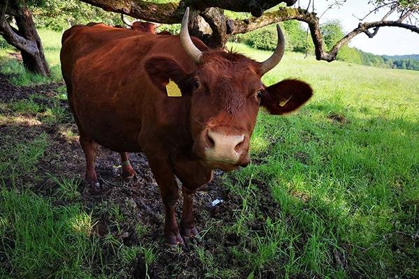 JOSERA red cattle on pasture