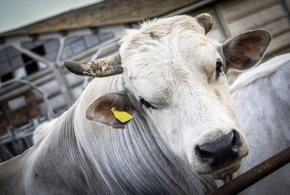 JOSERA Chianina cow