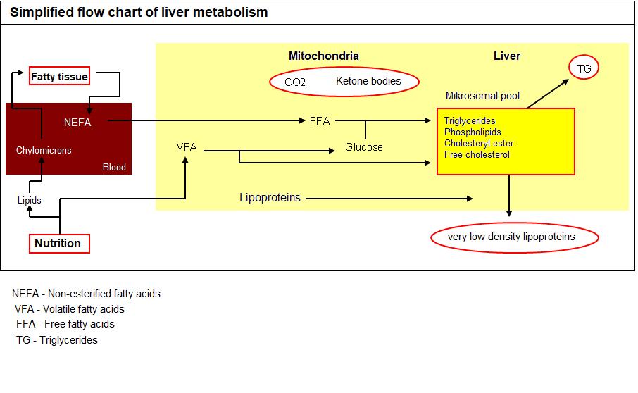 JOSERA simplified flow chart of liver metabolism