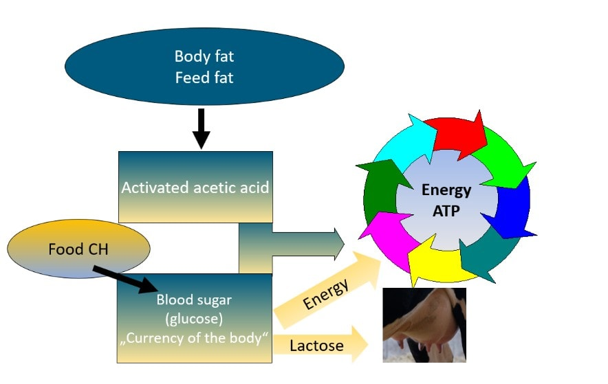 JOSERA graphic shows a feed fat energy circulation